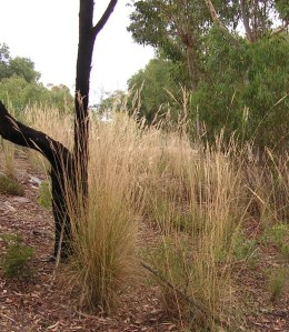 ...before we started, tall grasses around the base of a black wattle