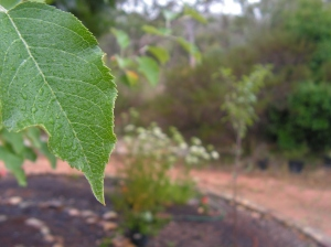 ...tiny droplets on the leaves of one of our young apple trees