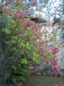 First signs of autumn splendour as the forsythia outside our bedroom window begins to adorn itself in seasonal hues...