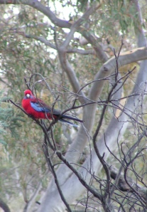 ...one of our more colourful residents... a crimson rosella