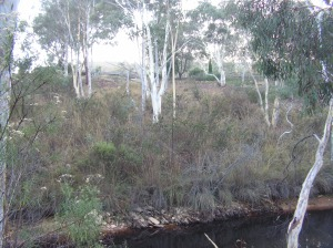 ...view up the hill towards the house from the bottom dam... our plans are to clear this area of shrubs and grasses and 'lift' the trees to create a park like area where the 'roos can graze... one day... soon...