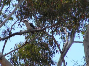 The other birds had long gone  by the time  I was outside, but this kookaburra was waiting in the tree on the lookout for something tasty...