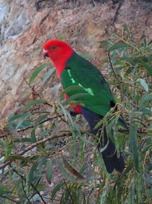 ...the cheeky king-parrot.  I wasn't sure he wasn't actually going to land on me!