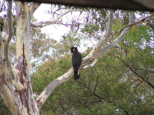 A beautiful Yellow-Tailed Black Cockatoo taking a moment to rest in our garden.