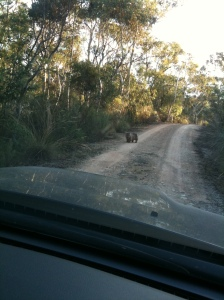 Wombat on track... facing off with our car before dashing into the bush...