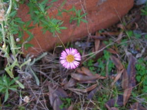 ... these brave little daisies lift their faces to the sun all year round...