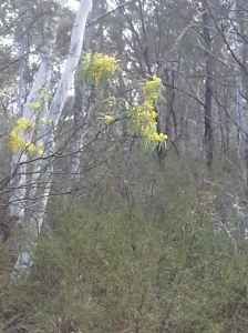 wattle in flower