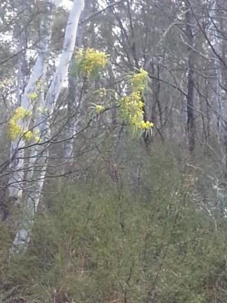 wattle in flower