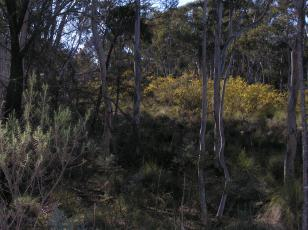 wattles in flower